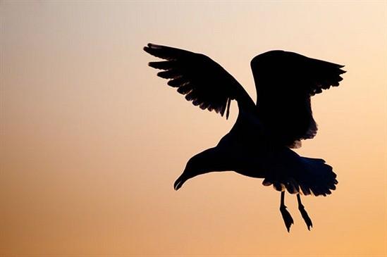 Birds Silhouette Flight