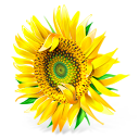 Flower, Plant, Sunflower Icon